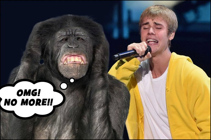 Even chimpanzees, when tested in research, could not stand the music of Justin Bieber!